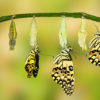 Transformation of Lime Butterfly ( papilio demoleus )